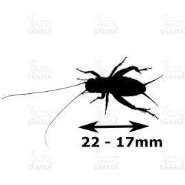 Medidas Gryllus assimilis mediano