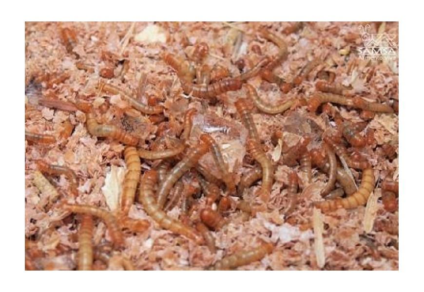 Cómo mantener el gusano de la harina en casa