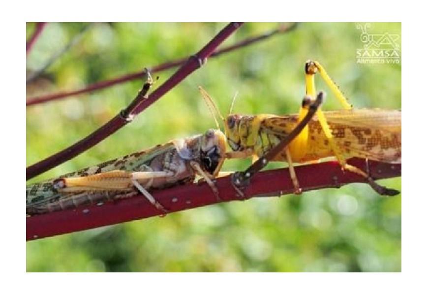 Cómo se reproducen las langostas